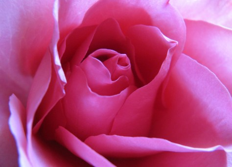 Rose Photo of the Day