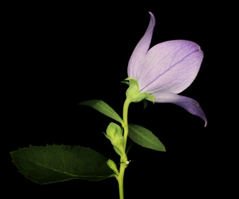Lavender Balloon Flower