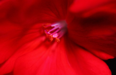 Red Geranium Center