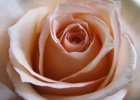 Pale Pink Rose Center