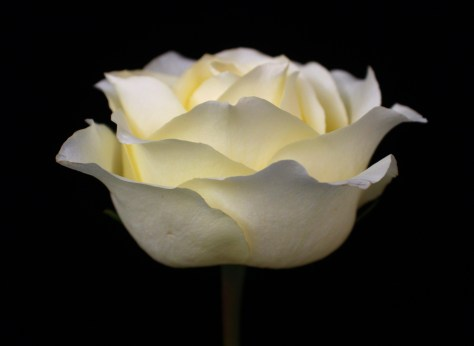 Cream Colored Rose